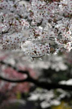 Sakura_spring01r