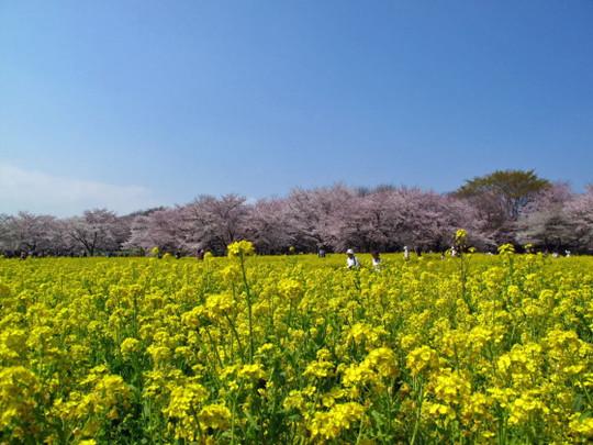 Sakura_spring03r