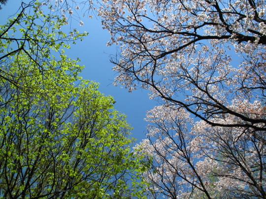 Sakura_spring04r