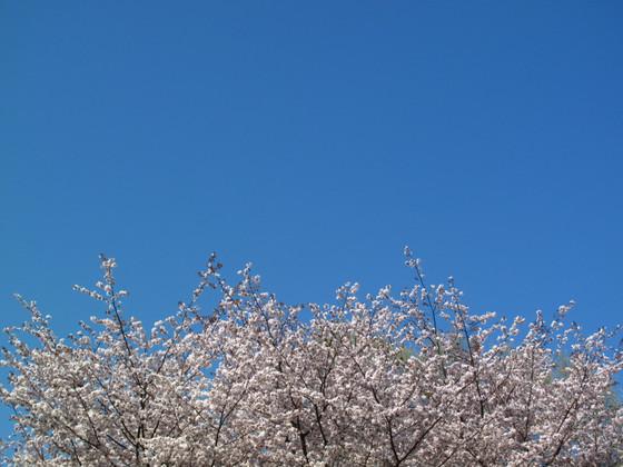 Sakura1401