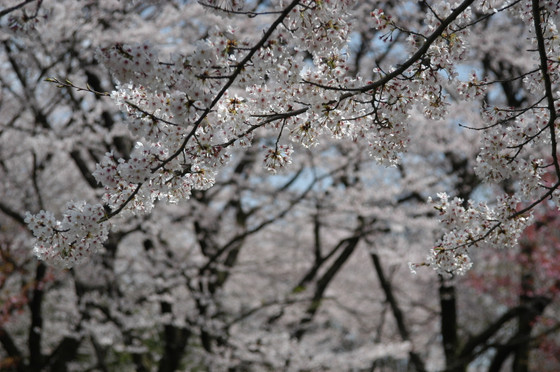 Sakura1402