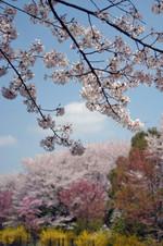 Sakura_sk