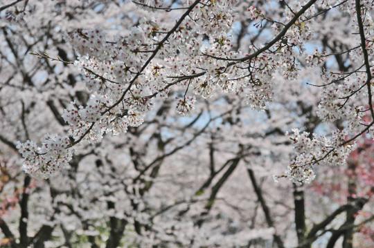 Sakura_tree02_2